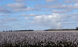 A cotton crop in Western NSW.