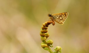 The chequered skipper butterfly has been reintroduced in a secret location in a forest in Northamptonshire.