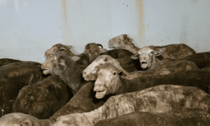 Heat stressed sheep filmed on the decks of the Australian live export ship Awassi Express by a whistleblower on a voyage from Fremantle to the Middle East in August 2017.