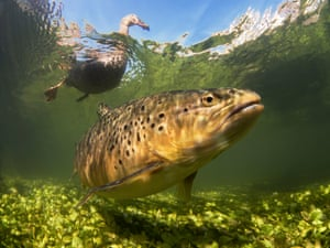 British waters compact category winner Hello Ducky! by Paul Colley (UK)Location: river Test, Hampshire, UK'While trying to photograph trout with a home-made pole-cam, a raft of mallard ducks muscled in to steal food intended to entice trout to the camera. This initial nuisance became an interesting opportunity and, shooting blind with the camera on the pole, I managed to catch the trout below water with a duck swimming overhead ... This needed a low viewpoint, an upward camera angle and a metric tonne of patience to allow all the elements to come together and make the picture work.'