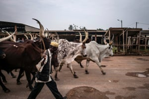 A man herds longhorn zebus through the empty market of the PK5 district in Bangui, Central African Republic