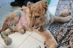 A seven-month-old lion cub in the Spasi Menya animal shelter in Chelyabinsk, Russia. He had been kept in a shed in Izberbash, Dagestan, until a vet intervened and had him flown to Chelyabinsk, where he is awaiting spinal and stomach surgeries.