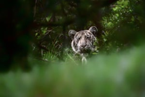 An extremely rare 'pale tiger' that was discovered in the wilds of Nilgiri biosphere reserve in Tamil Nadu state in India