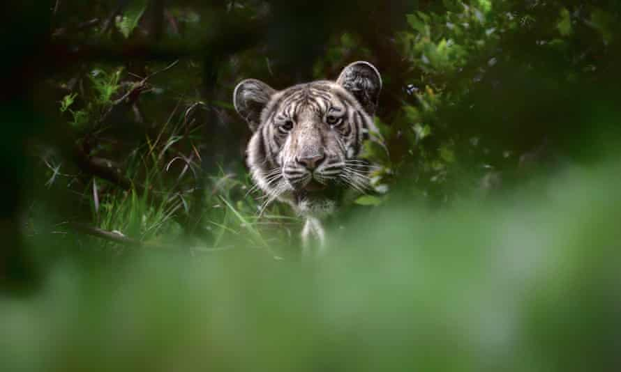 A rare 'pale tiger' discovered in the wilds of Tamil Nadu state in India