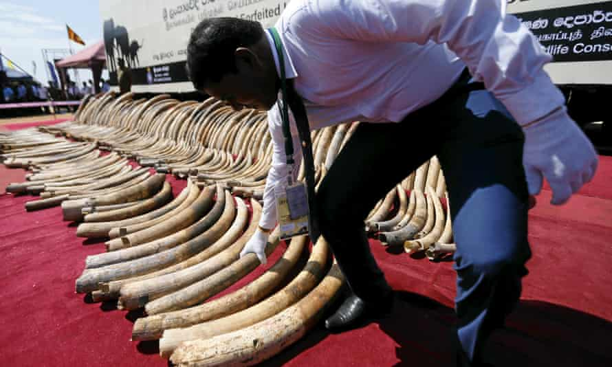 A customs officer displays African elephant tusks seized in Sri Lanka.