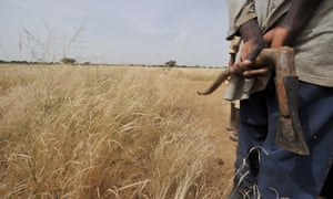 In northern Burkina Faso, a farmer stands near grass he planted to help stop the advance of the Sahara desert.