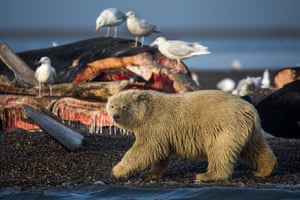 A young polar bear prepares to feast on the remains of a bowhead whale, harvested legally by whalers during their annual subsistence hunt, just outside the Inupiat village of Kaktovik.