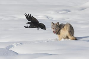 Grey wolf and raven, Yellowstone national park