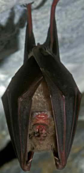 Greater horseshoe bat (Rhinolophus ferrumequinum) hibernating in cave in winter