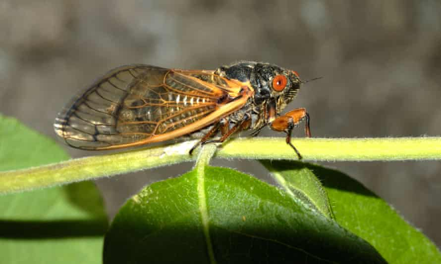 'When they are this abundant, they fly, land and crawl everywhere, including occasionally landing on humans,' said Gary Parsons of Michigan State University.