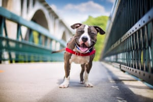 Third place, Rescue Dogs: Joshua a pit bull terrier mix who was adopted from a shelter in Boston, Massachusetts, after being rescued from an abusive home