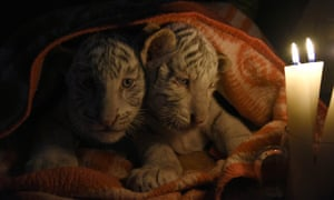 Bengal tiger cubs are covered with blankets
