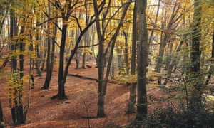 Beech trees in autumn, Epping Forest: 'Most of Ashon's yomps through the woods are failures.'