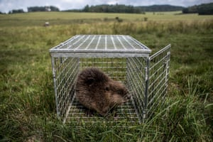 A beaver sits in an open cage as part of research by the Czech University of Life Sciences