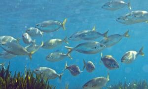 Mediterranean bream fish in the Mediterranean near Marseille in southern France.