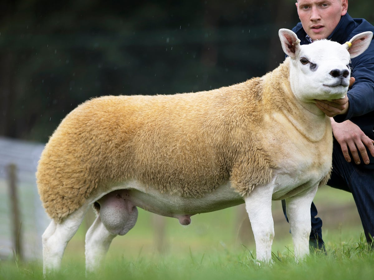 The Lamb With The Golden Guns Sheep Sells For Record 368k Uk News The Guardian