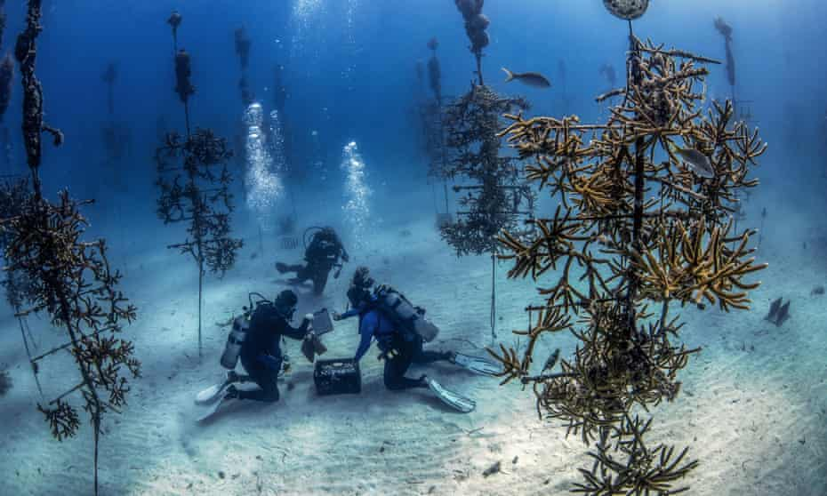 US divers at work in the Tavernier nursery of the Coral Restoration Foundation, Florida.