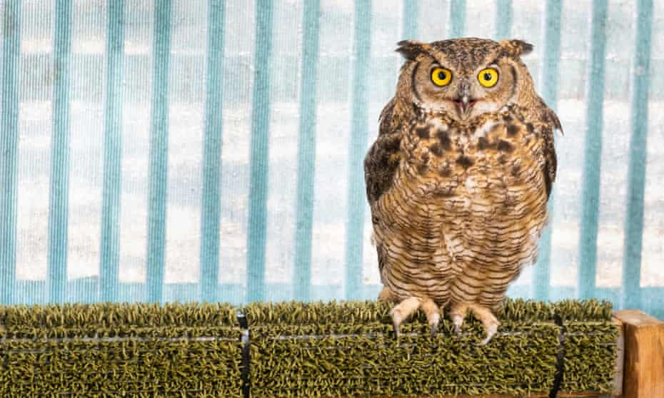 An owl rescued from Lake Tahoe Wildlife Care Center recuperates at a bird sanctuary.