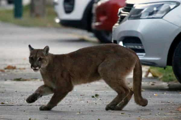 A puma in the streets of Santiago, 24 March 2020.