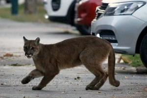 A puma, believed to be about one year old, in Santiago, Chile. According to the country's Agricultural and Livestock Service (SAG), it came down from the nearby mountains in search of food after seeing fewer people in the streets due to the coronavirus pandemic.