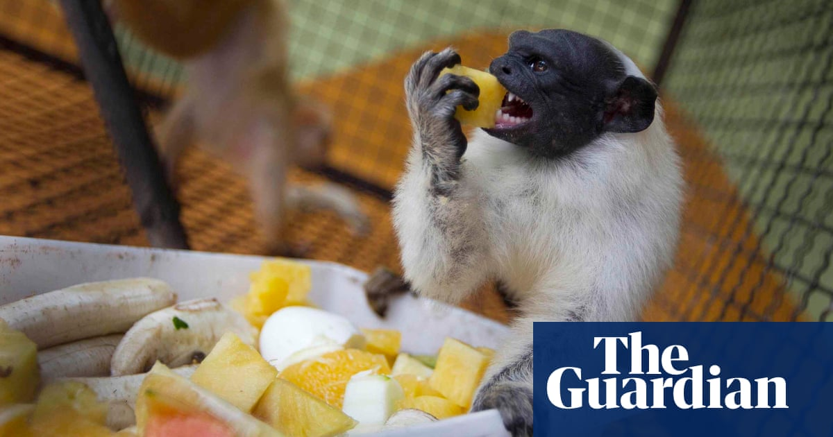 Monkeys adopt 'accent' of other species when in shared territory – study