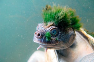 A picture released by the Zoological Society of London shows a Mary river turtle.