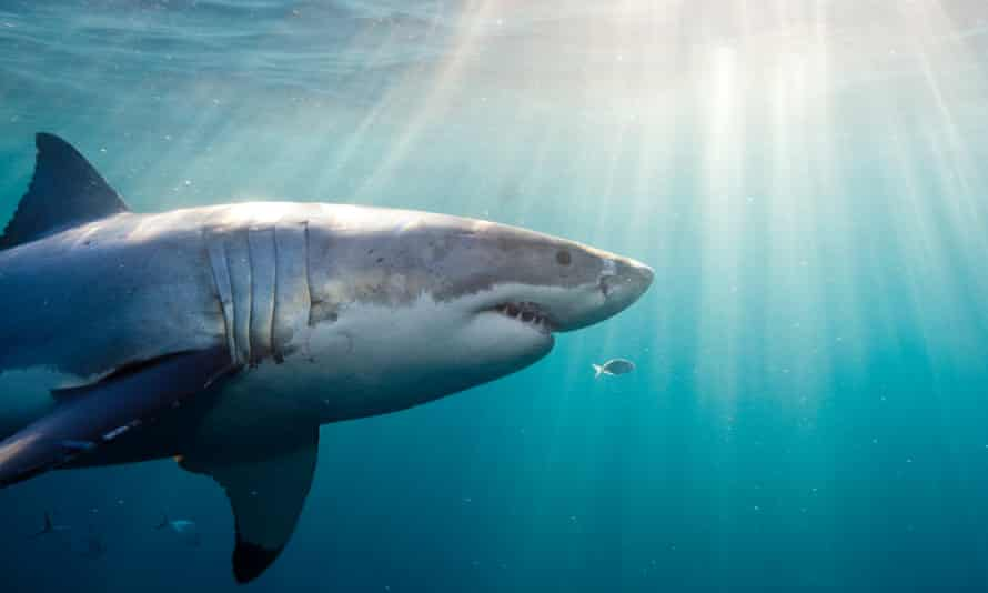Four of Australia's six unprovoked shark attack deaths last year were from great white shark bites.