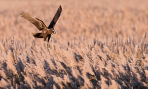 A female marsh harrier hovering over prey on a Suffolk reedbed.