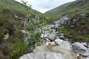 An Arran whitebeam in Glen Catacol