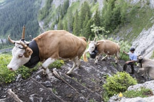 Cows and herdsmen climb the narrow path from Adelboden to Engstligenalp, Switzerland. About 500 cows, cattle and calves cover the 600 metres of altitude during the alpine procession to their summer pasture
