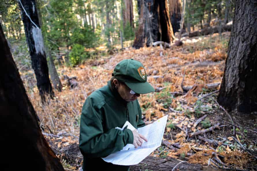 Christy Brigham checks her notes, which record where the dead sequoias are located within the park, and the data collected on the trees.