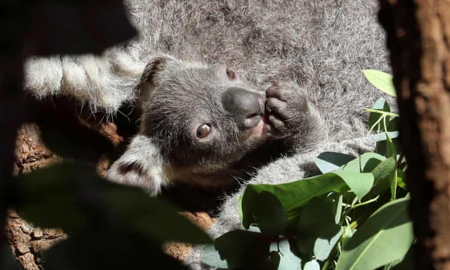 Koala joey with its mother in a tree