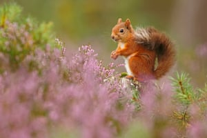 British seasons: Seasonal Scottish Red Squirrels (Red Squirrel), Rothiemurchus Forest, Highland. One of a series of four images.