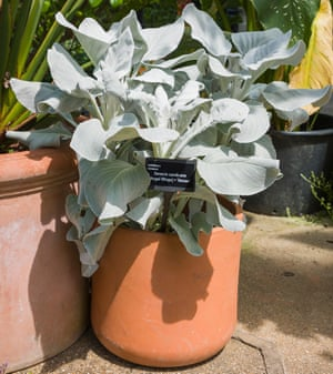 A potted specimen Senecio candicans Angel Wings