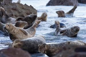 Grey seals on the rocks at Ravenscar, North Yorkshire coast, UK.