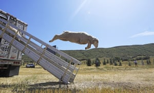 A sheep leaps from a truck for the annual Soldier Hollow classic sheepdog championship in Midway, Utah.