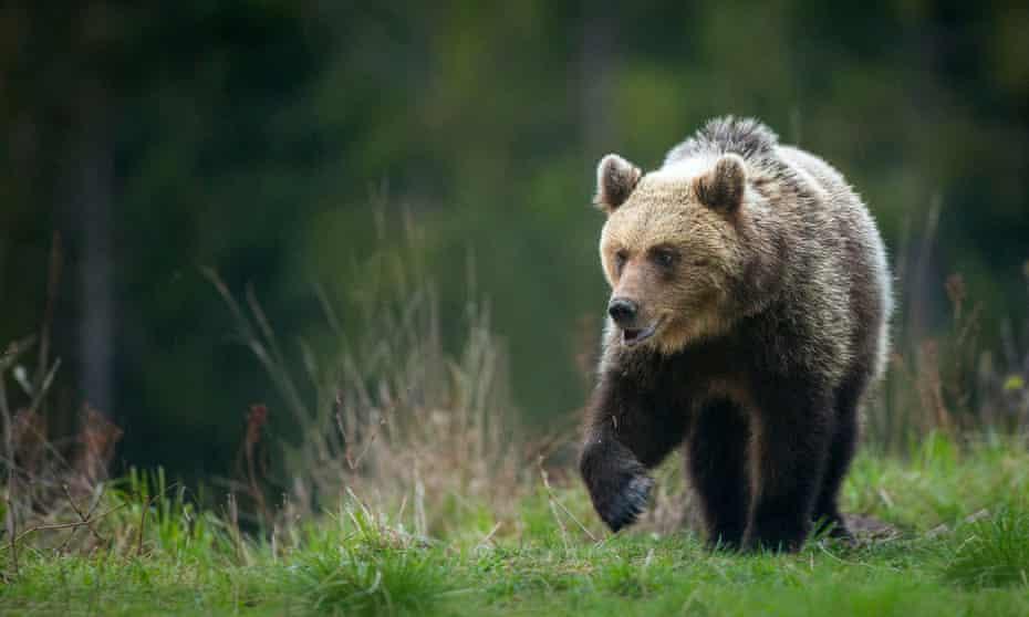 brown bears roaming the Carpathian mountains, Slovakia