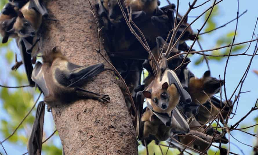Straw-coloured fruit bats (Eidolon helvum) on a tree in the wetlands of Zambia's Kasanka national park.