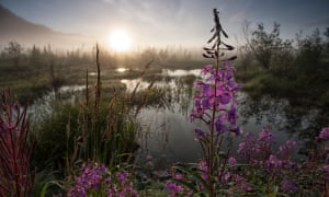 Fireweed blooms in a wetland on the Wind River