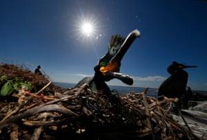 A shag nest on the Farne Islands