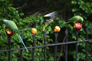 Parakeets eat fruit on fence spikes