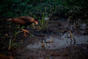 A carcara (Caracara plancus) drinks water from a puddle