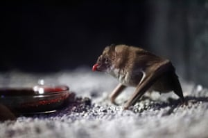 A vampire bat drinks bovine blood in the Criaturas de la Noche Bat House, the Audubon Zoo's new night house in New Orleans