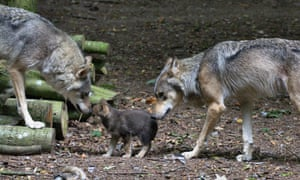Wolves and wolf cubs