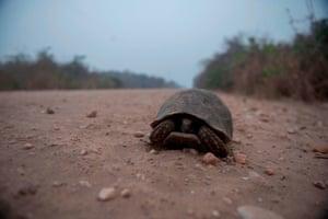 A turtle walks on the Transpantaneira Park Road.
