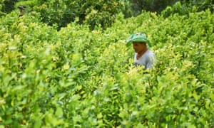 Diositeo Matitui, a 67-year-old coca grower, works in his coca field in a rural area of Colombia.