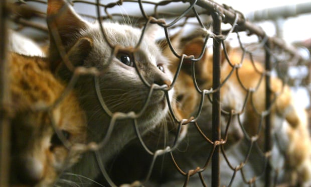 Cats are seen caged after being rescued by China Small Animal Protection Association from a Tianjin market that trade cats for meat and fur, in Beijing