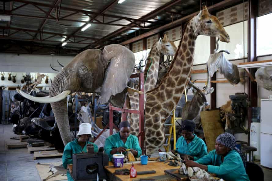Workers prepare animal skins at a taxidermy studio in Pretoria. Africa's big game hunting industry helps protect endangered species, according to its advocates. Opponents say it threatens wildlife.