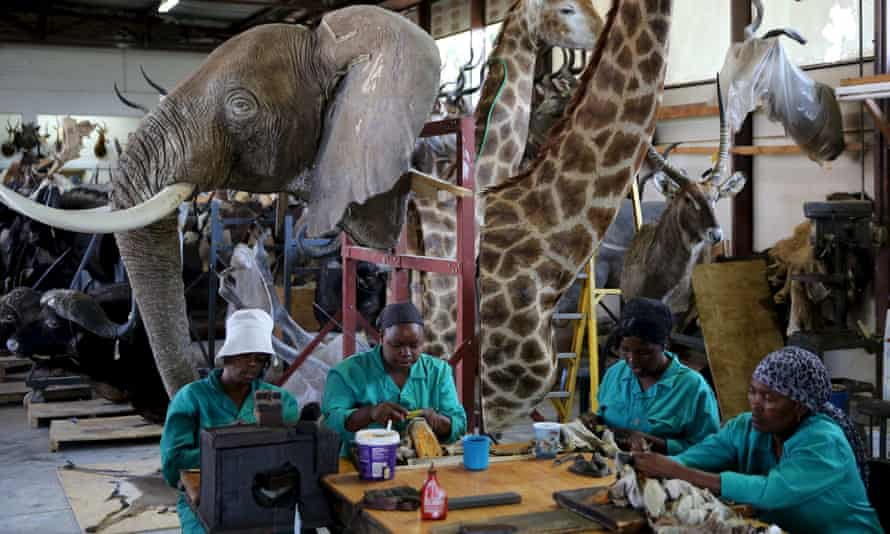 Workers prepare animal skins in front of animal trophys at the taxidermy studio in Pretoria.