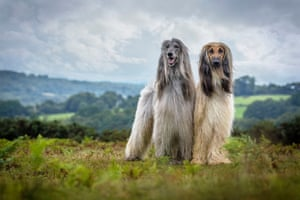 Jamie Morgan's two Afghan hounds won first place in the portrait category